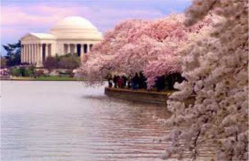 Washington-cherry-blossoms